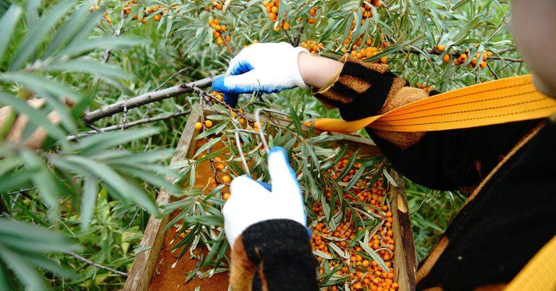 Секреты выращивания облепихи: советы опытных садоводов
