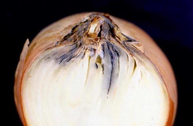 Гниение лука при хранении: причины и решение проблемы
