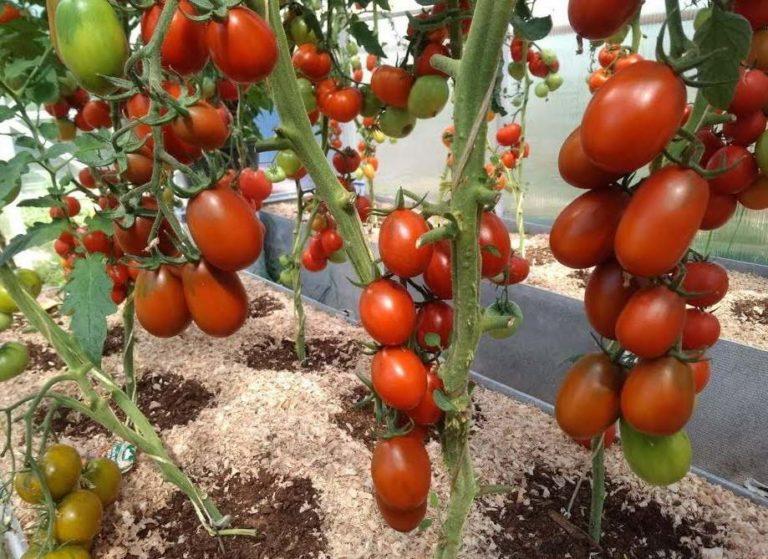 помидоры де барао черный выращивание в теплице
