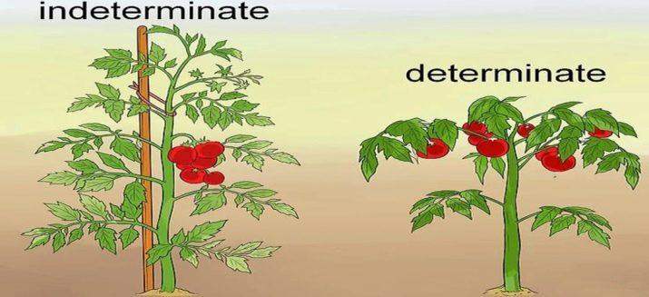 Что такое детерминантные и индетерминантные сорта томатов, отличия
