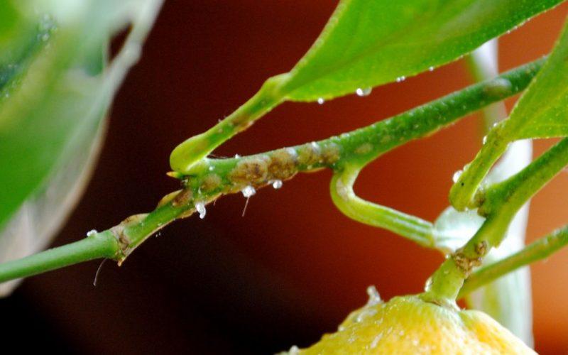 Как вырастить лимон из косточки – лимонное дерево в домашних условиях