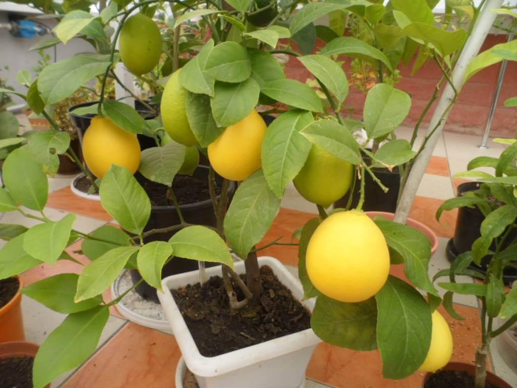 Комнатный лимон, выращивание из семечки