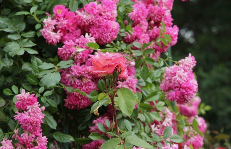 Роза Супер Дороти — описание и характеристики плетистого сорта