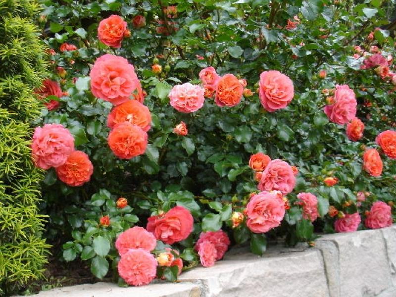 Роза Братья Гримм — описание и характеристики «королевы цветов»