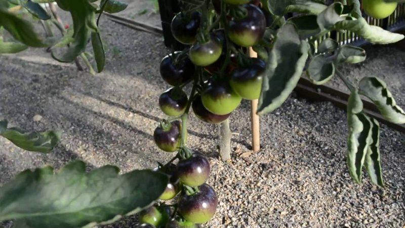 Томат Черная гроздь F1 — описание и характеристики раннеспелого сорта