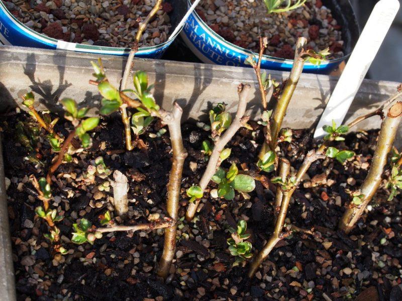 Размножение черной смородины черенками весной