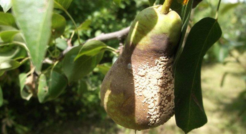 Как бороться с паршой на яблонях и грушах
