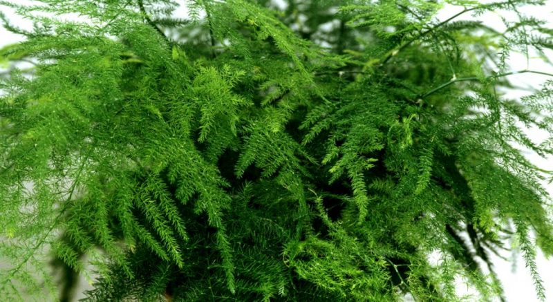 Аспарагус – выращивание и уход за комнатным растением в домашних условиях