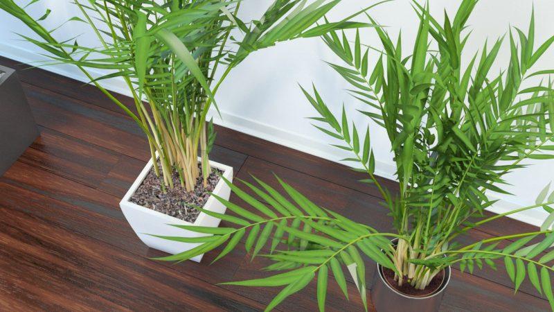 Хамедорея – описание, виды, выращивание и уход