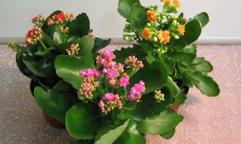 Выращивание каланхоэ цветущего из листа и черенков, размножение, полезные свойства