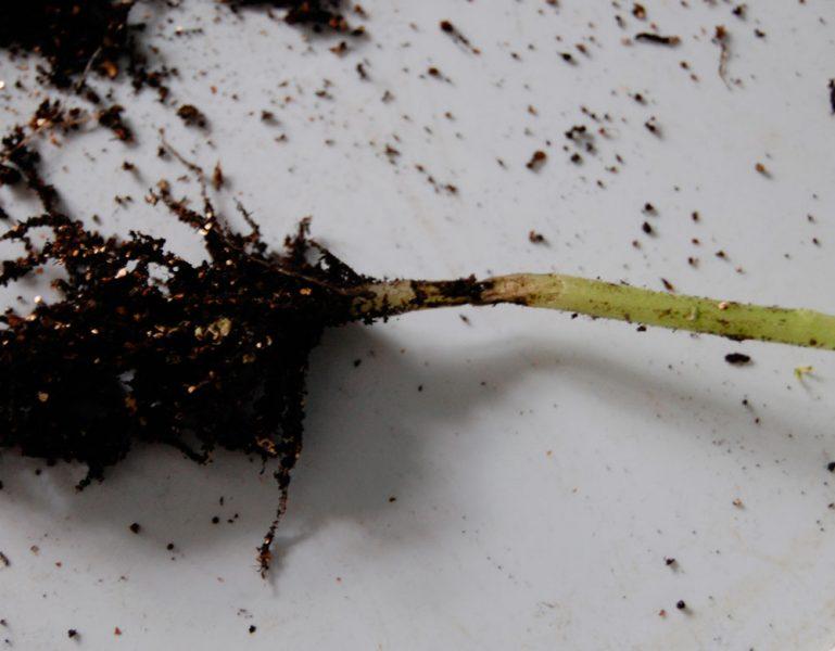 Почему появляется «черная ножка» у рассады томатов и что можно сделать