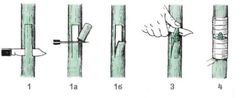 Практические аспекты летней прививки косточковых культур