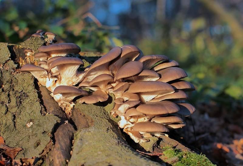 Вешенки: выращивание грибов в домашних условиях