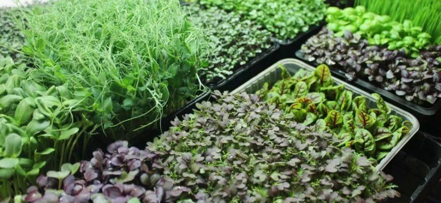 Микрозелень, выращивание в квартире