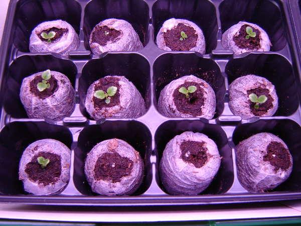 Как вырастить глоксинию из семян в домашних условиях