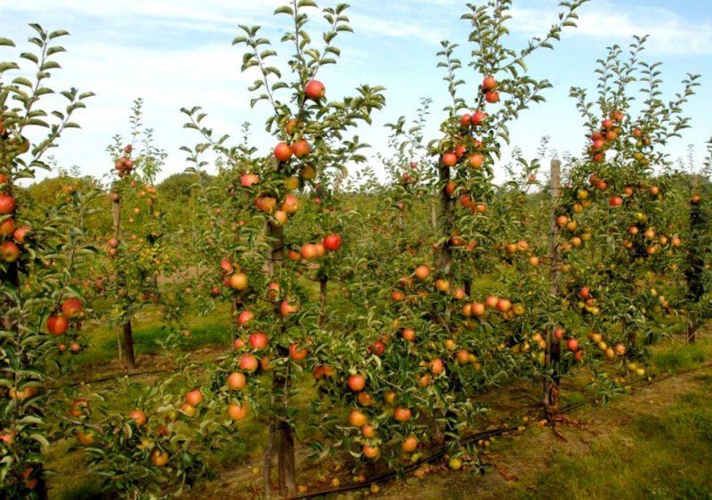 Яблоня Джонаголд — описание и характеристики сорта