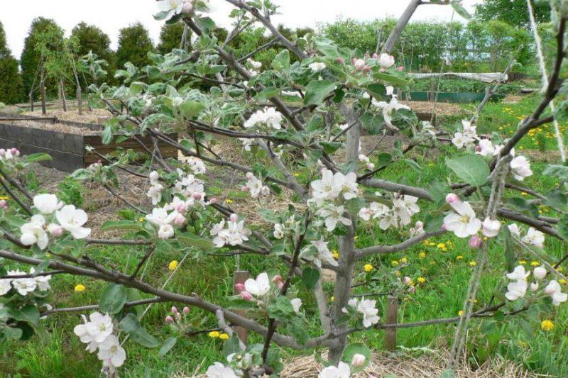 Яблоня Медуница – описание и основные характеристики популярного сорта