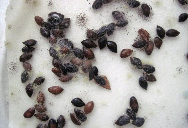 Больные семена