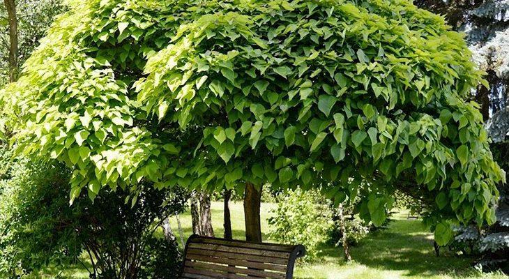 Деревья с красивой кроной