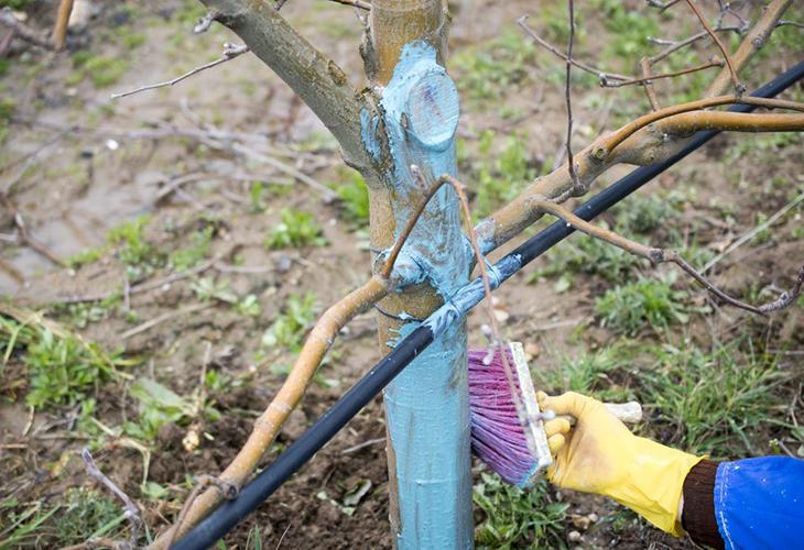 Обработка деревьев железным купоросом