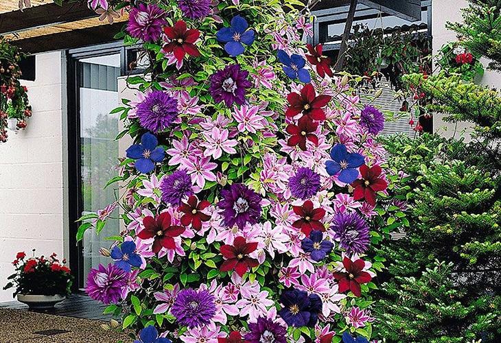 Лианы с красивыми цветами
