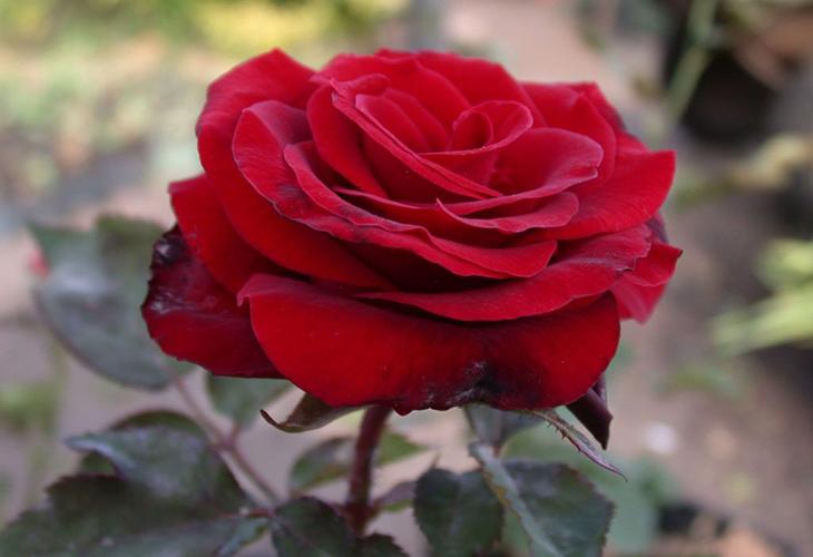 Роза Гран-При