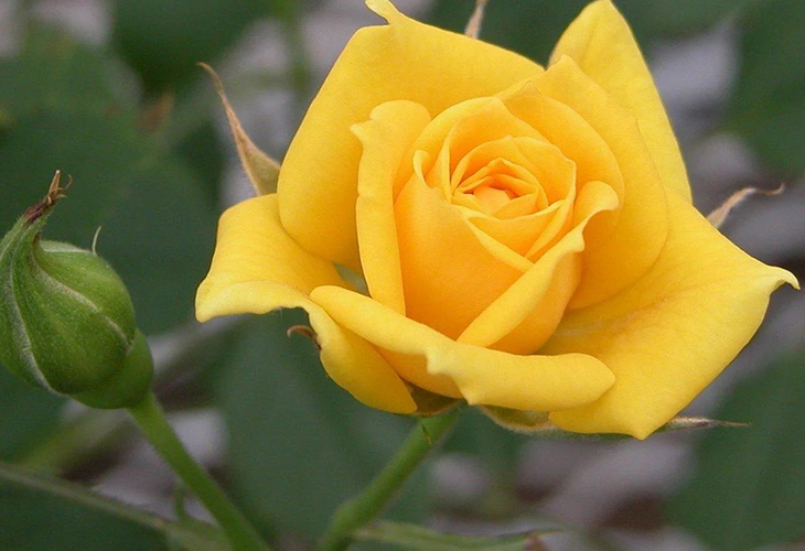 Роза Мохана