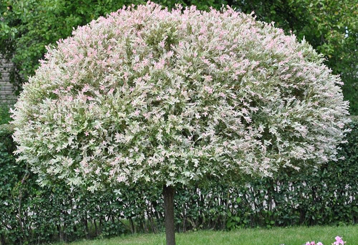 Штамбовое дерево