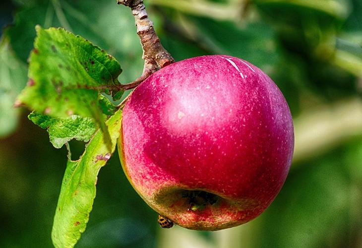 Яблоки Розовый налив