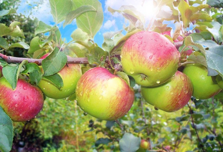 Яблоки Уэлси