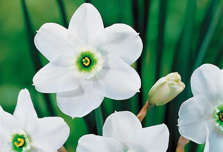 Нарциссы Зелёная Жемчужина