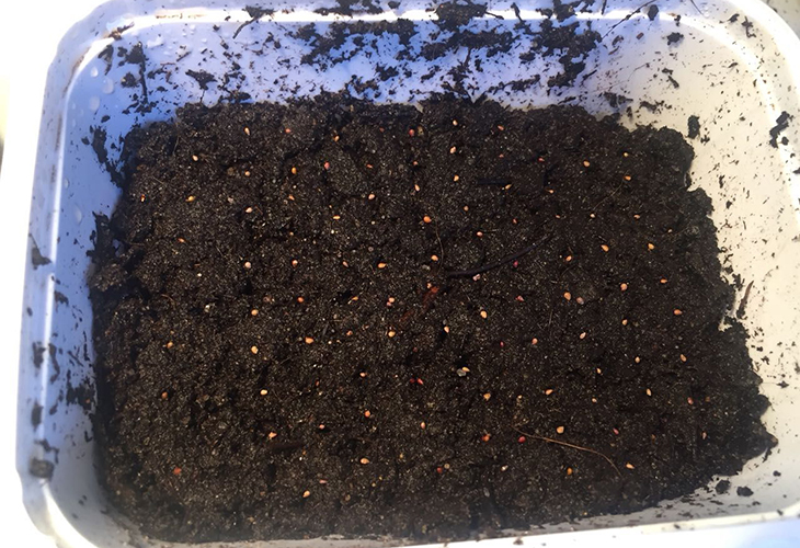 Посев семян земляники