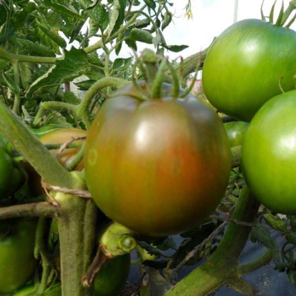 Томат Сахар коричневый – описание, характеристики и отзывы