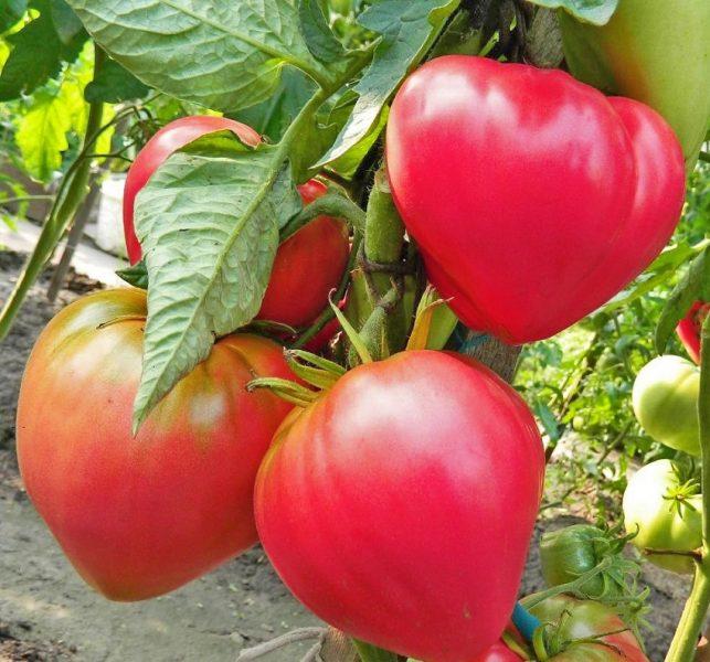 Томат Абаканский розовый – описание и характеристики среднераннего сорта