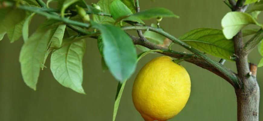 Болезни лимона