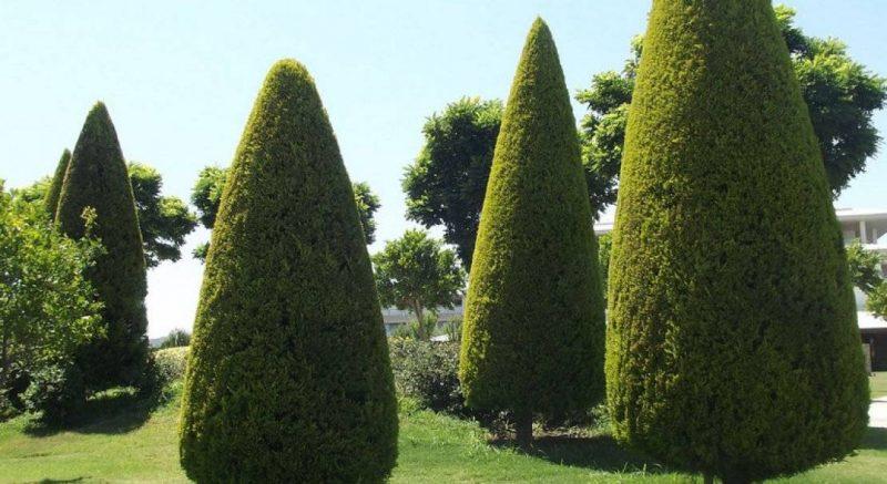 Пирамидальный кипарис вечнозеленый