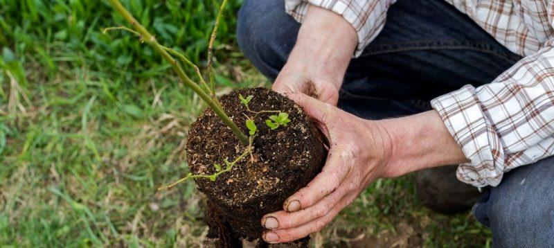 Голубика сорта Дюк – характеристики и особенности выращивания