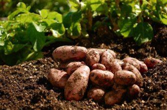 Технология выращивания ранней картошки