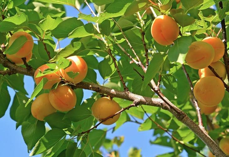 Где растет абрикос Эдельвейс