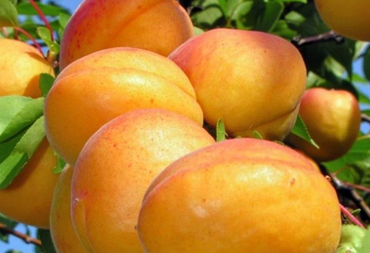 Плоды абрикоса Эдельвейс