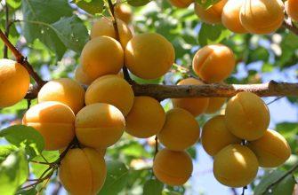 Абрикос Эдельвейс - дерево