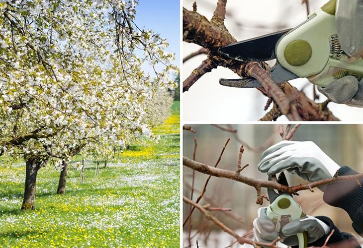 Принципы формирования плодовых деревьев