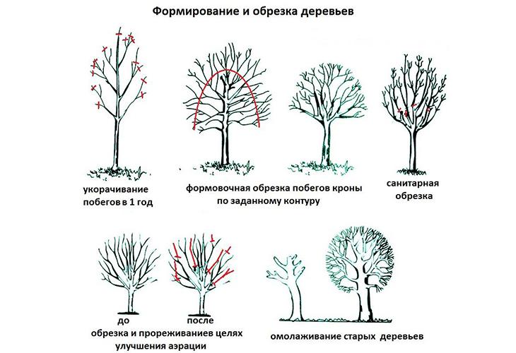 Правила формирования плодовых деревьев