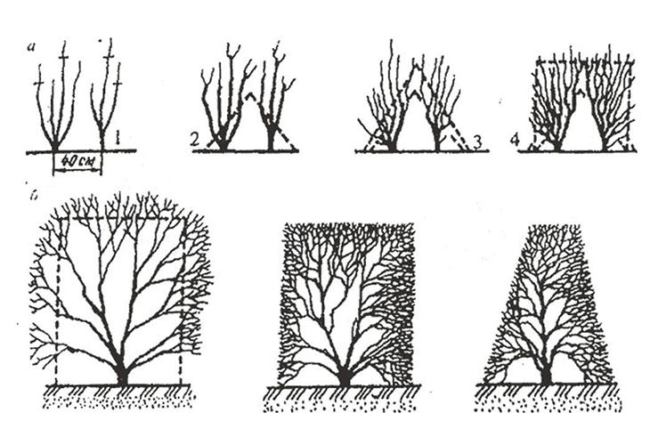 Формировочная обрезка кустарников