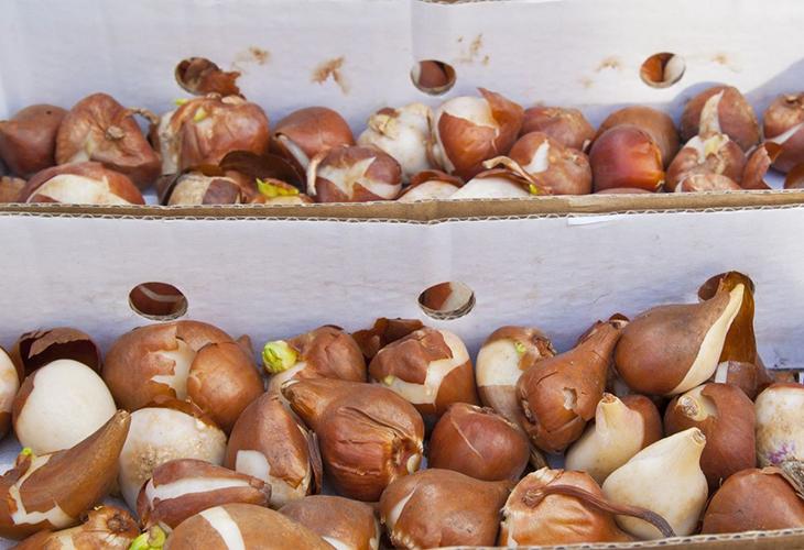 Хранение луковиц цветов