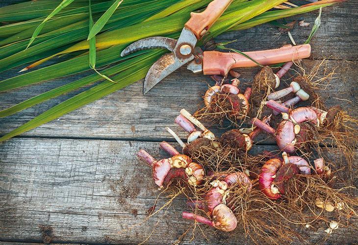Подготовка луковиц цветов