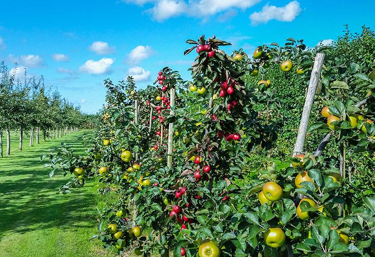 какие плодовые деревья посадить