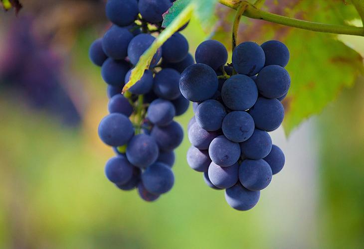 Урожайность винограда