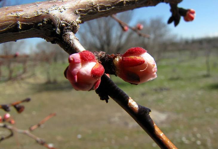 Обработка деревьев «по розовому бутону»
