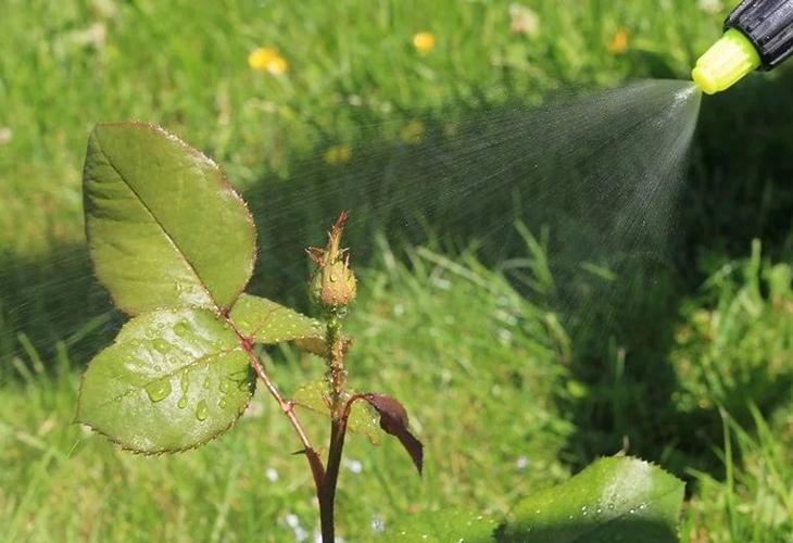 Обработка роз от тли